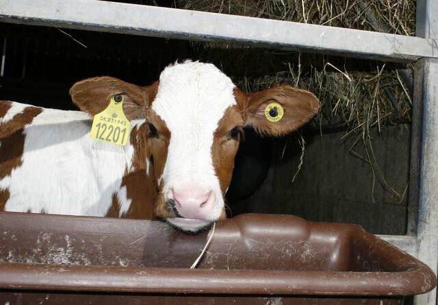 Bedre dyrevelfærd i kvægstaldene