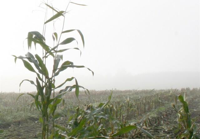 Dårligt håndværk og vejret er skyld i dårlig majshøst