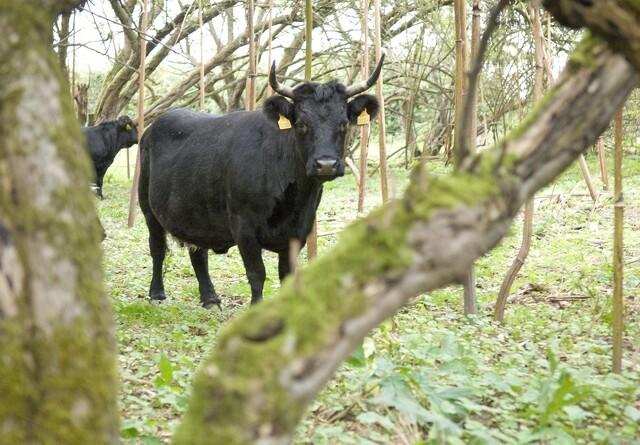 Er det her, man kan låne en ko?