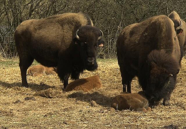 LandTV: Mød den fynske bison
