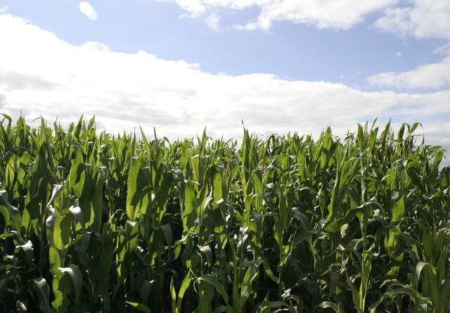 LMO: Udsigt til dårlig majshøst