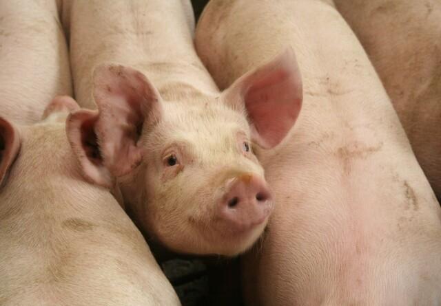 Svineproducenter tilfredse med ny Tican-fusion
