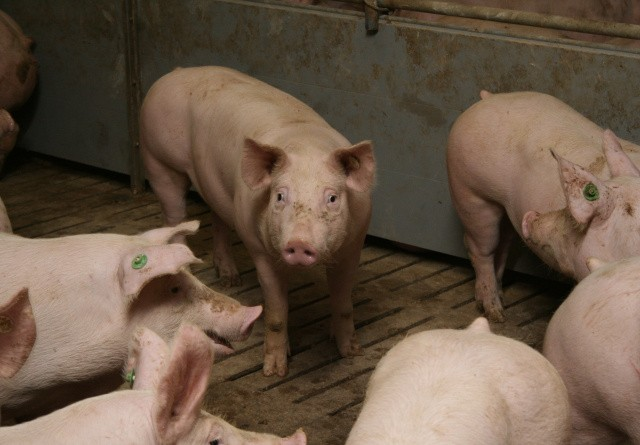 DC støtter svin i kvægstalden