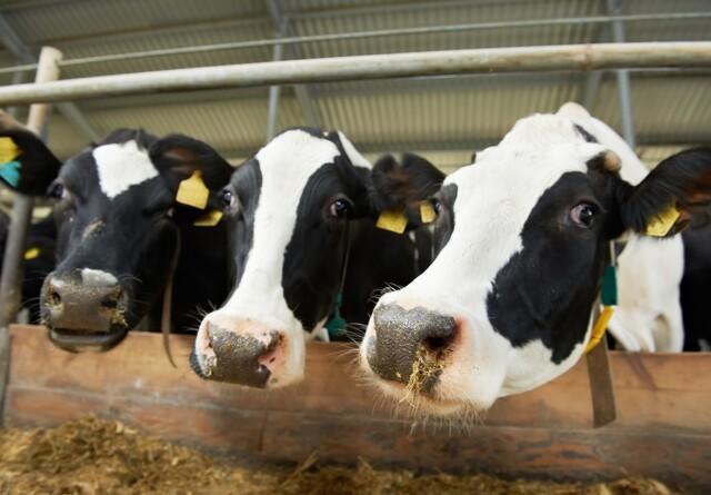 Lav mælkepris rammer økologerne mindre hårdt