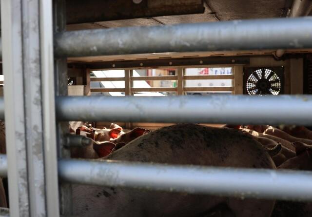Krav om højdekrav til svinetransporter udskydes
