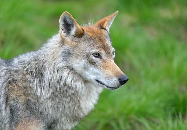 To ungheste formodes dræbt af ulve
