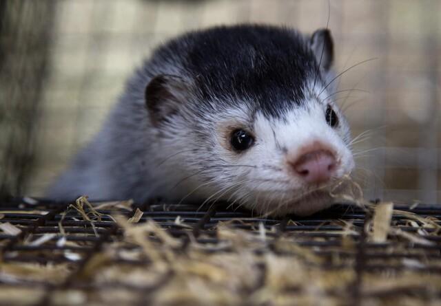 Danske minkfarme skal testes for covid-19