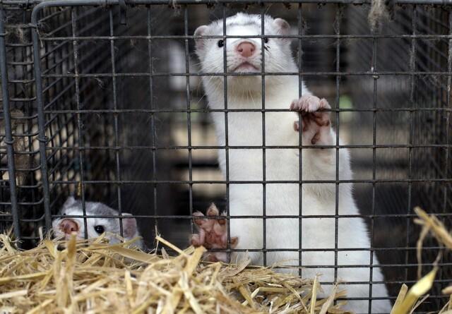Holland planlægger tidligere lukning af minkproduktion