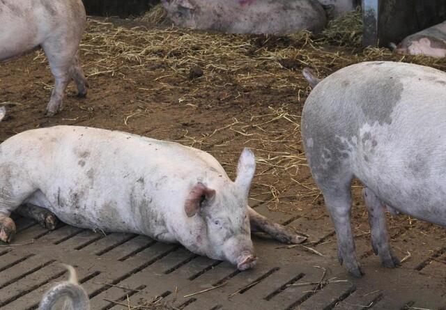 Ny virus i grise kan ende med pandemi