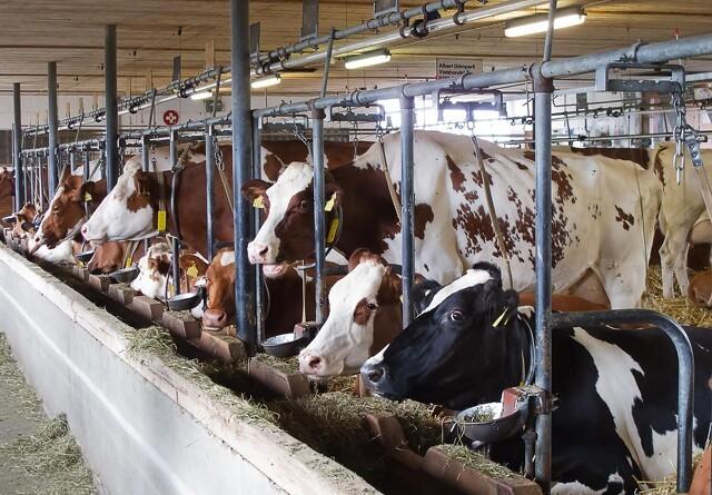 Kvægeksportør: Dyrlægekontrol er alt for dyrt