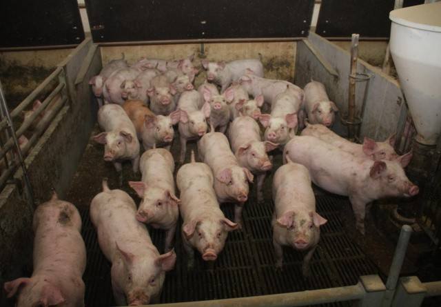 Kina blokerer import fra Brasilianske slagterier af frygt for covid-19
