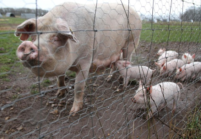 Tjek på dyrevelfærden i produktionen af velfærdskød