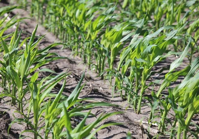 Jyske Markets: Kina i største køb af amerikansk majs i to årtier