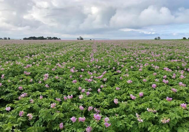 Gør kartoflerne en tjeneste med planteanalyser