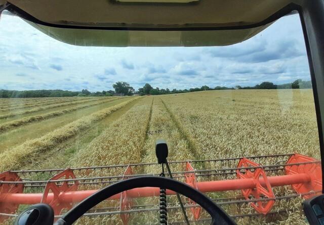 Tidlig hvede-høst på Broager