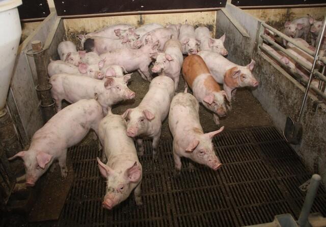 Presset på svinepriserne i EU aftager