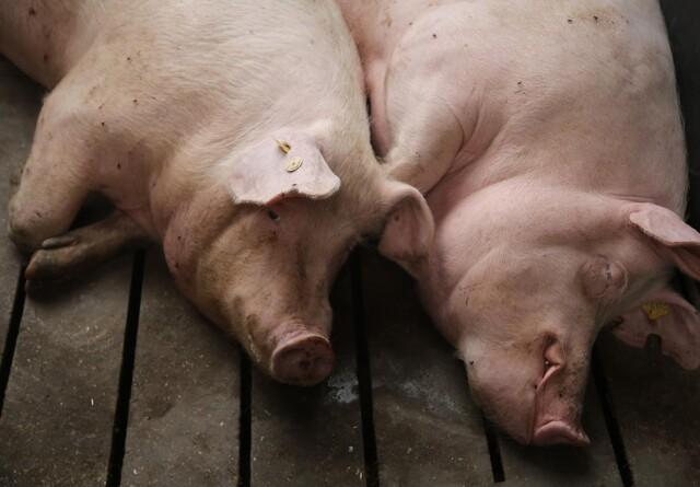 Kina vil investere massivt i argentinsk svinekød