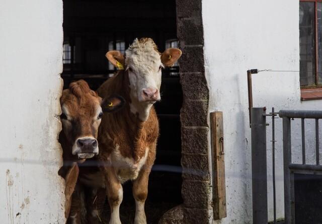 Danish Crown Beef kan ikke følge med efterspørgslen: Hæver tillæg med 25 øre