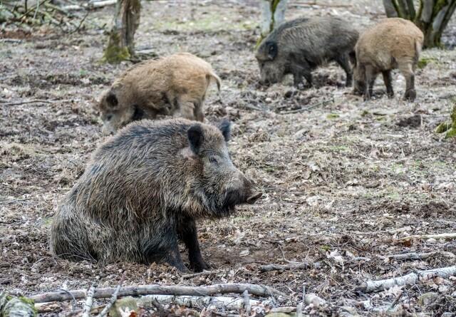 Markedsanalytiker: Svinepest i Tyskland vil sænke svinenotering markant