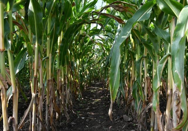 Planteavlskonsulent: Skyd majssåningen et par uger for bedste udbytte