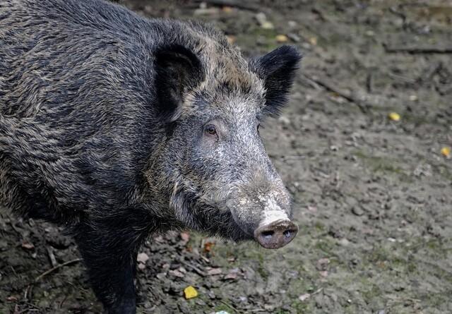 Debat: Vildsvinehegnet ved grænsen kan redde dansk svineeksport