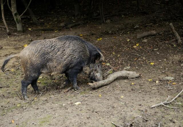 Yderlige fem tilfælde af afrikansk svinepest fundet i Tyskland