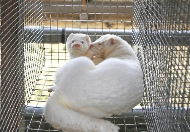 Debat: Stop hetzen mod minkavlerne