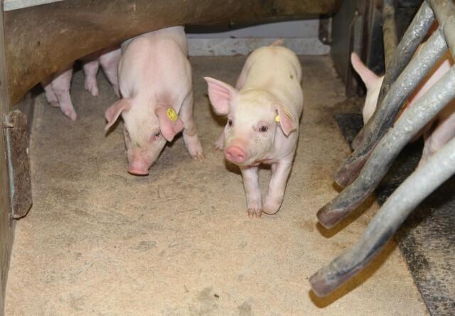Efter svinepest: Tysk slagtesvinenotering stabiliserer sig