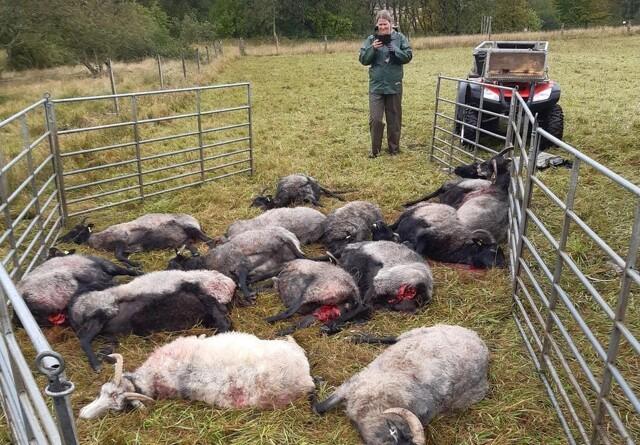 28 får dræbt i nyt ulveangreb