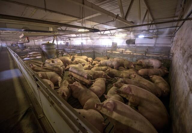 Til trods for svinepest eksporterer Rusland store mængder kød