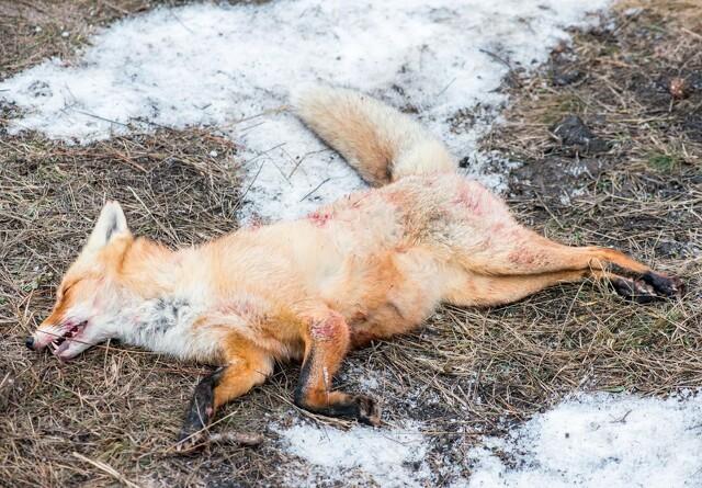 Potentiel smittebærer: Myndigheder vil undersøge nordjyske rovdyr for corona