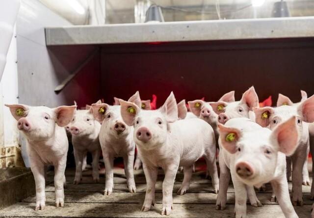 Danish Pig Genetics øger den genetiske kapacitet i Danmark