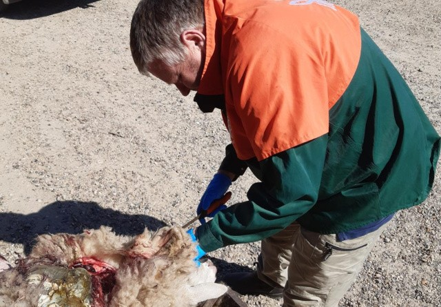 Storålam har mistet over 200 får til ulven