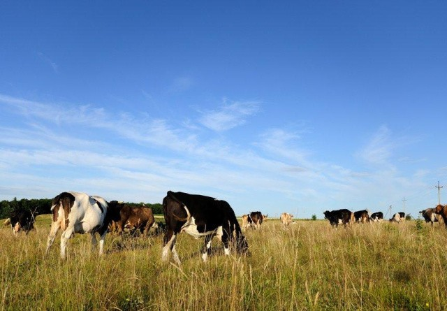 Aarhus Universitet: Mere metan fra kvæggylle end hidtil rapporteret