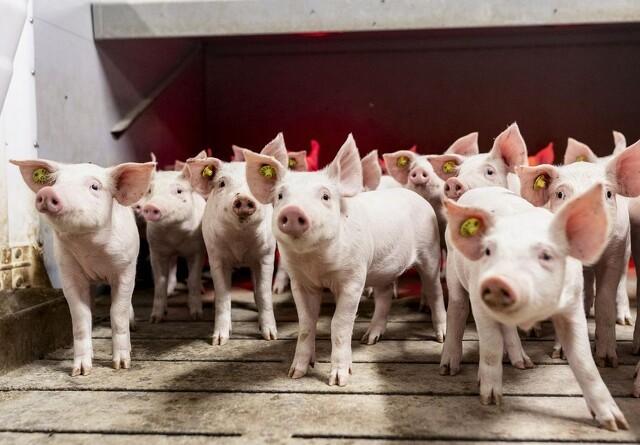 Lars Dall stopper hos Danish Pig  Genetics