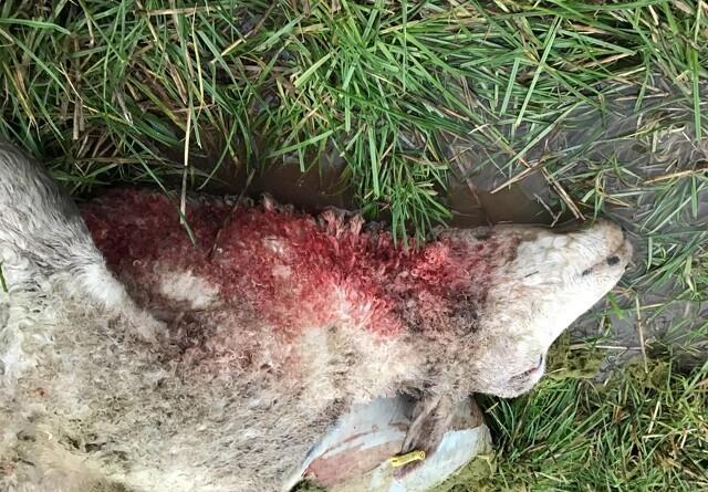 Syv får døde efter nyt ulveangreb