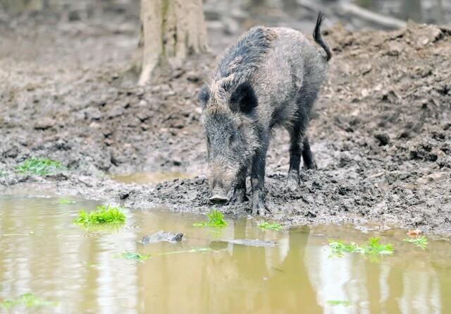 Afrikansk svinepest breder sig til ny tysk delstat: Sachsen i højt beredskab