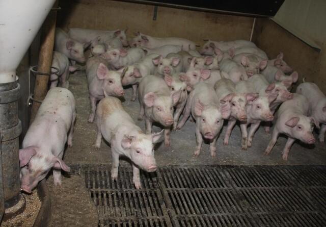 Svineproducenter: Corona bestemmer markedsforløbet