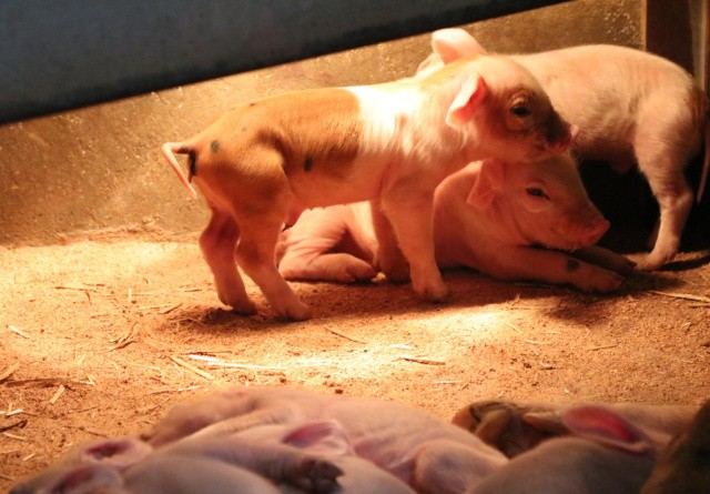 Danske svineproducenter: STOP dyremishandling