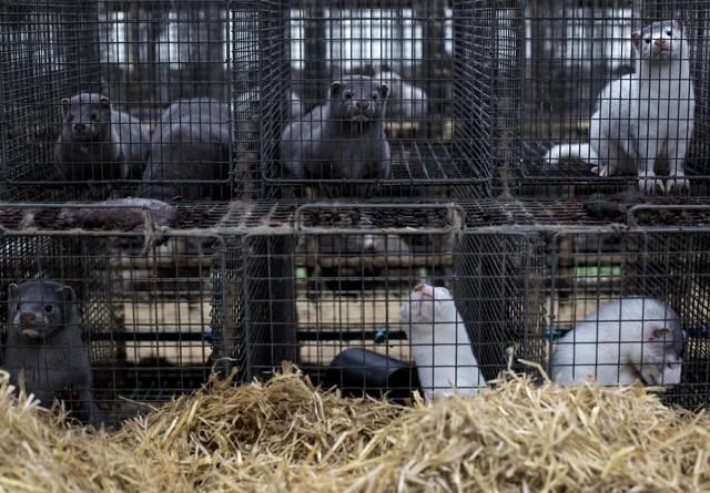 Risikovurdering var grundlag for aflivning af mink: Men avlsdyr indgik ikke i vurderingen
