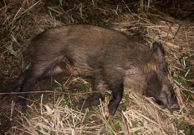 Bestanden af vildsvin er under 20 dyr