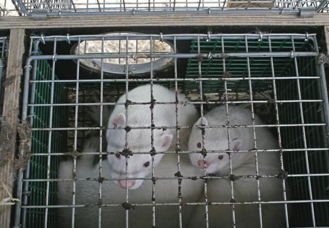Sundhedsforsvarligt at beholde 56.000 avlsdyr