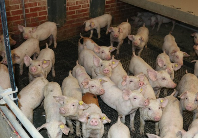 Zinkfri 2022: Læringsrum for dyrlæger og svineproducenter