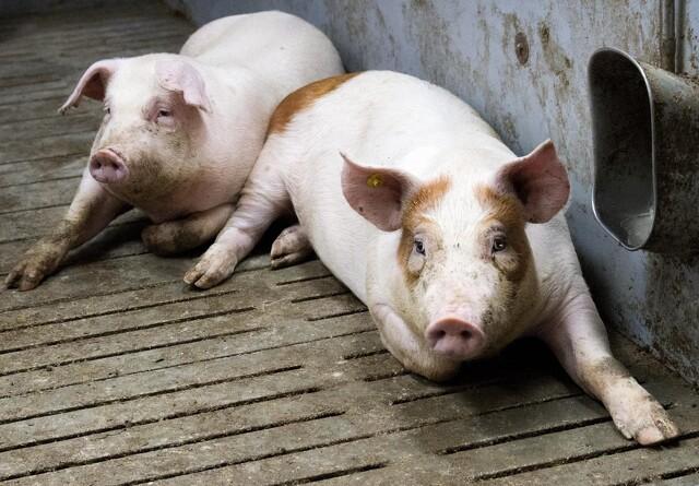 Seges til svineproducenter: Slagt dine fjerkræ