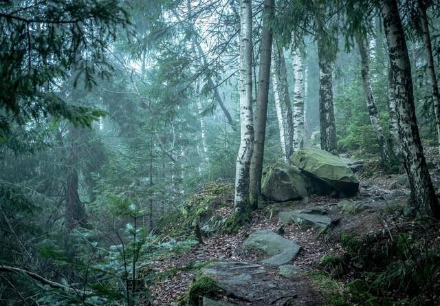 Træer i urørt skov gøres gamle før tid