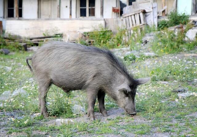 302 bekræftede tilfælde ASF i vildsvin i Tyskland