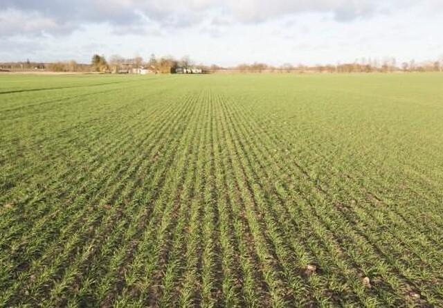 Hvedesorten Pondus vinder pris