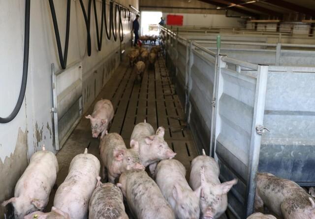Løsgænger ønsker kvoter på svin - minister afviser forslaget
