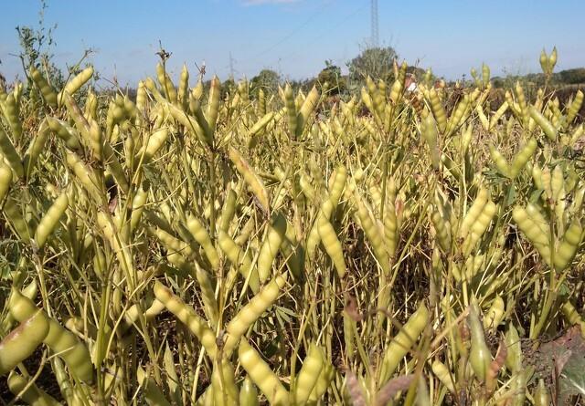 Importeret soja skal være fortid i økologisk landbrug