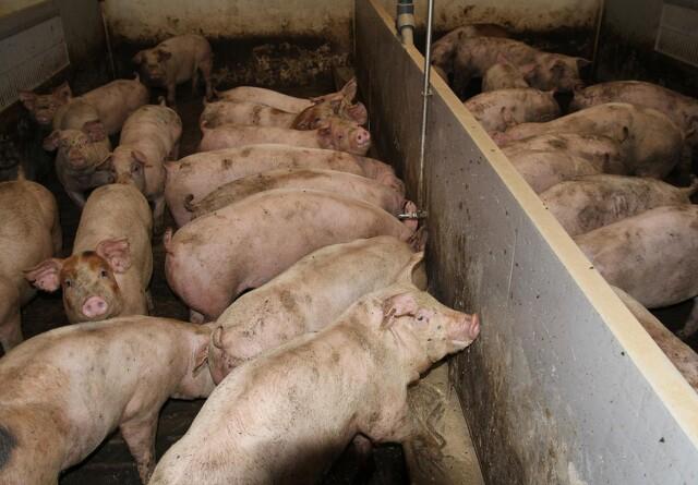 Svagt faldende svinepriser i Kina